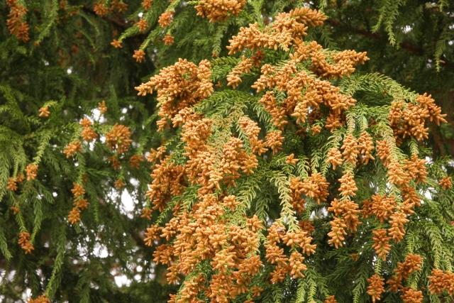 杉の花:花から飛び出した花粉は風にのって遠くまで飛散する。花粉に過敏な状態に陥ってしまった体は花粉症を発症する。