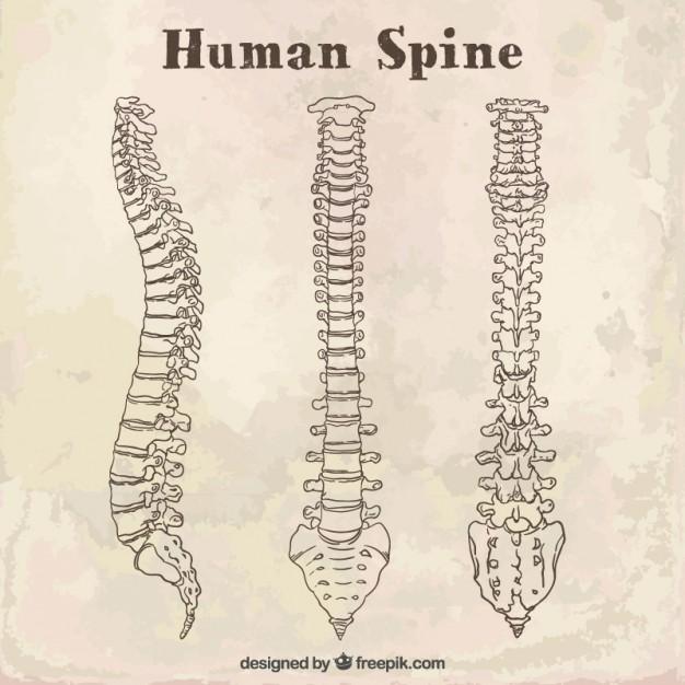 背骨あるいは 脊柱のイラスト