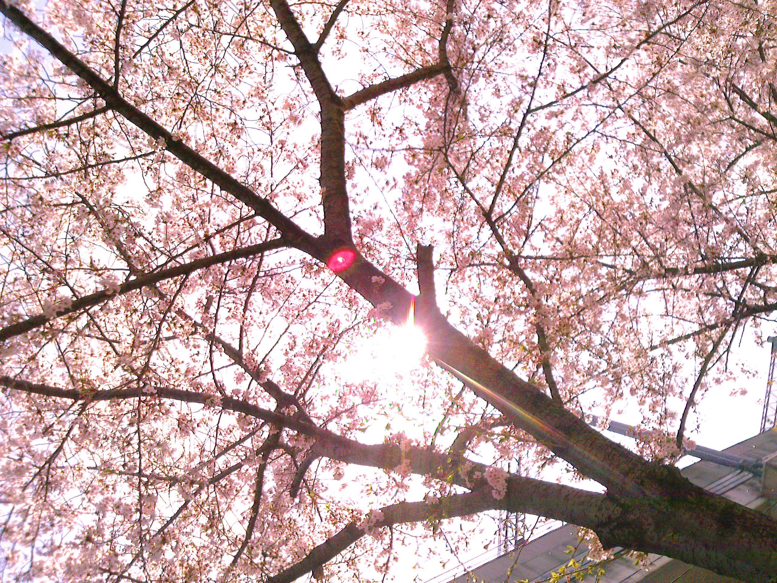 阪神西宮駅近くの産所公園の桜